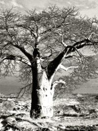 Baobab tree, Kruger National Park