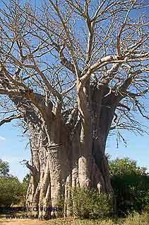 Baobab tree Kruger National Park – Ekala Eco Tours