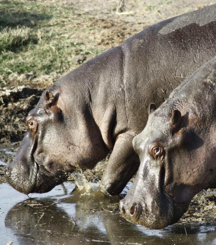 Hippos - Pilanesberg safari