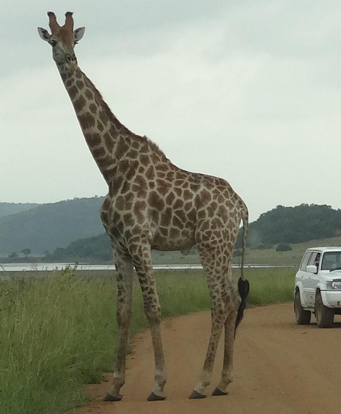 Giraffe, Pilanesberg - Ekala Eco Tours