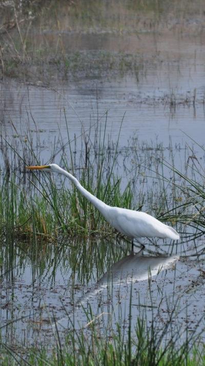 Giant white egret, Pilanesberg - Ekala Eco Tours