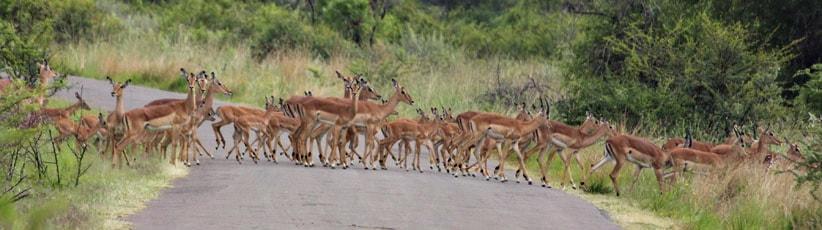 Impala crossing road - Kruger safari