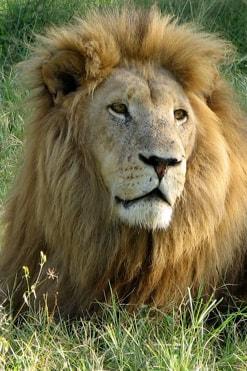 Lion on Safari - South Africa