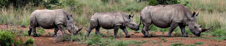 White rhino - Safari - South Africa