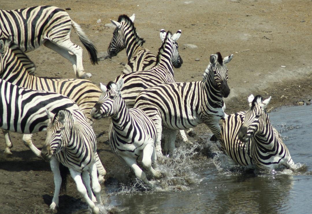 Zebra Kruger Safari – Ekala Eco Tours